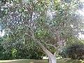 Ficus Benghalensis - പേരാൽ 01.jpg