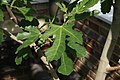 Ficus carica Violette Du Bordeaux 1zz.jpg