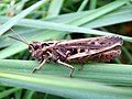 Field Grasshopper (Chorthippus brunneus) (8137834951).jpg
