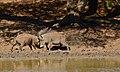 Fighting Warthogs (Phacochoerus africanus) (6581122623).jpg