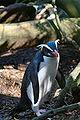 Fiordland penguin (Mattern).jpg