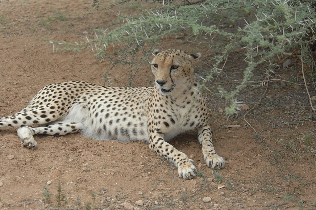By DVIDSHUB - Cheetah in the Shade, CC BY 2.0, https://commons.wikimedia.org/w/index.php?curid=22432149