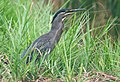 Flickr - Rainbirder - Striated Heron (Butorides striatus).jpg