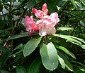 Flickr - brewbooks - Rhododendron - John M's Garden (7).jpg