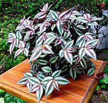 Tradescantia zebrina wikipedia la enciclopedia libre for Plantas ornamentales wikipedia