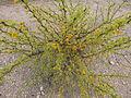 Flora del Cerro del Muerto, Aguascalientes 04.JPG