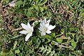 Flora della Sardegna 244 (2).jpg