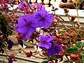 Flowers,Balboa Park, San Diego CA 03.jpg