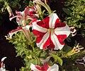 Flowers - Uncategorised Garden plants 34.JPG