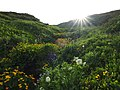 Flowers near a brook, Vitosha mountain.jpg