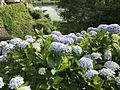 Flowers of Hydrangea macrophylla 20170609.jpg