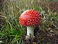 Fly agaric - geograph.org.uk - 1496879.jpg