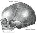 Fonticulusmastoidalis.PNG