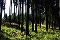 Forest near Vysočany - panoramio.jpg