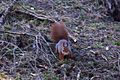Formby red squirrel forest 5.jpg