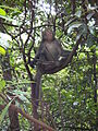 Formosan macaque in Tianmu Waterpipe Walkroad.JPG