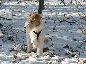 Image illustrative de l'article Fox-terrier à poil dur