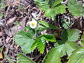 Fragaria vesca May Norway.jpg