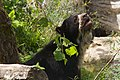 Frankfurt Zoo - Andean Bear.jpg
