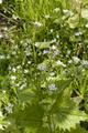 Freiensteinau Salz Bruchwiesen Salz NR 162590 det Alliaria petiolata c.png