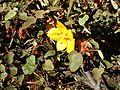 Fremontodendron californicum Ken Taylor kz1.jpg