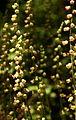Fringecup (Tellima grandiflora) (7189623184).jpg