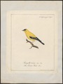 Fringilla tristis - 1700-1880 - Print - Iconographia Zoologica - Special Collections University of Amsterdam - UBA01 IZ16000035.tif