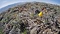 Fritillaria pudica on Badger Mountain.jpg