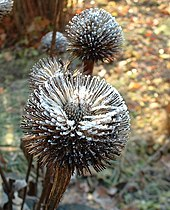 Frosted seedhead.jpg