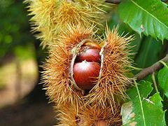 Frucht der Edelkastanie.jpg