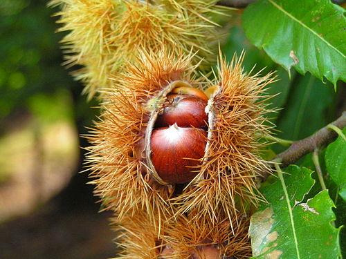 Frucht der Edelkastanie
