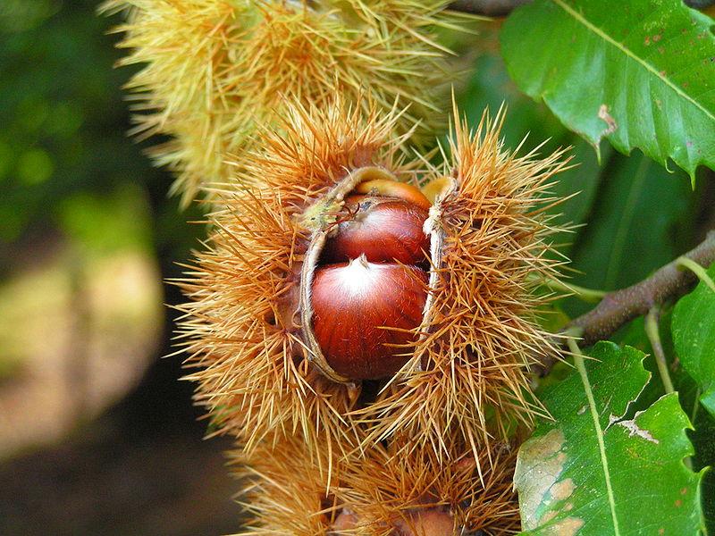 Ficheiro:Frucht der Edelkastanie.jpg