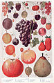 Fruit page 1214-1215.jpg