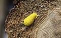 Fuligo septica - Gelbe Lohblüte 02.jpg