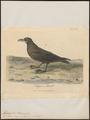 Fulmarus aequinoctialis - 1789 - Print - Iconographia Zoologica - Special Collections University of Amsterdam - UBA01 IZ17900122.tif