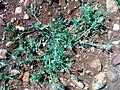Fumaria capreolata Habitus 25April2009 DehesaBoyalPuertollano.jpg