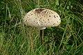 Fungi - panoramio (5).jpg