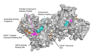 Glucose-6-phosphate dehydrogenase - Image: G6PD sites labeled