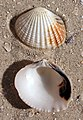 Gafrarium tumidum shell.jpg