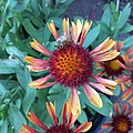 Gaillardia 'Arizona Red Shades' IMG 7097.jpg
