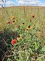Gaillardia aristata - Blanket Flower (6285613895).jpg