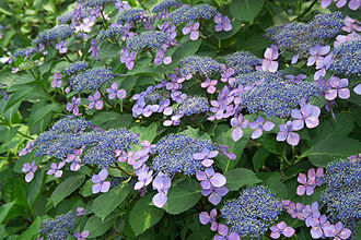 Flora of China - Hydrangea macrophylla
