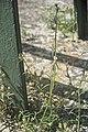 Galeopsis reuteritop-2107.jpg