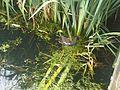 Gallinula chloropus wetland 10.jpg