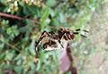 Garden orb weaver07.jpg
