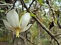 Gardenia gummifera 17.JPG