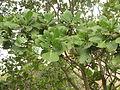 Gardenia latifolia 03.JPG