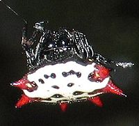 Spinyback orbweaver