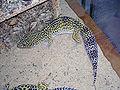 Gecko léopard mâle adulte.jpg