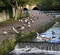 Geese on the River Wye - geograph.org.uk - 512756.jpg